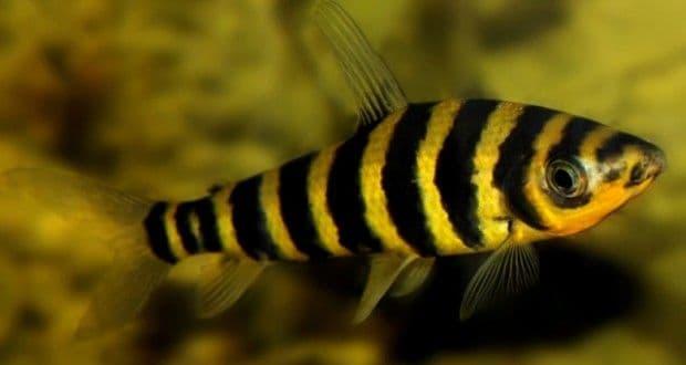Hình ảnh Cá ong