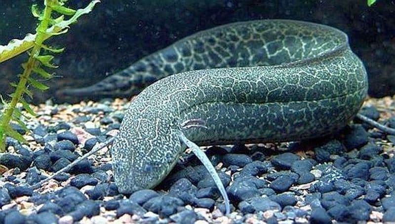 Hình ảnh cá phổi