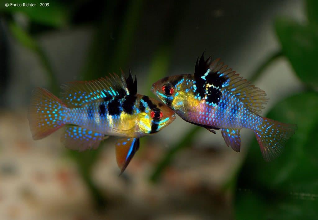 Hình ảnh cá phượng hoàng ngũ sắc, cá phượng hoàng lùn