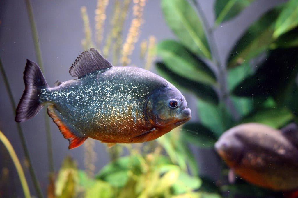 Hình ảnh Cá piranha
