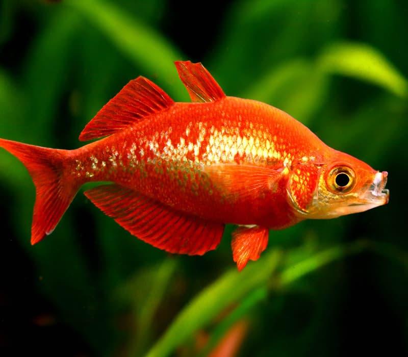 Hình ảnh cá rambo đỏ, cá cầu vòng đỏ