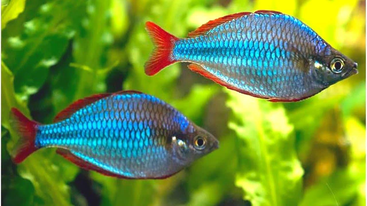 Hình ảnh cá rambo xanh, cá cầu vòng xanh