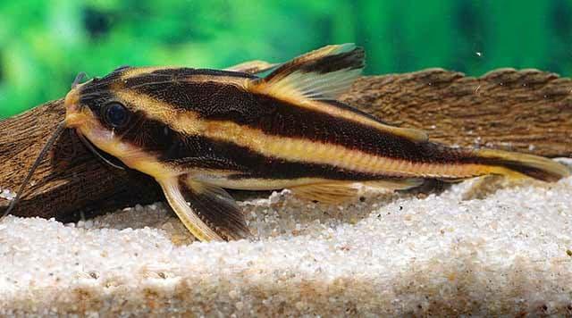 Hình ảnh Cá râu mèo sọc dưa