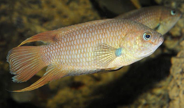 Hình ảnh Cá rô dẹp đuôi hoa