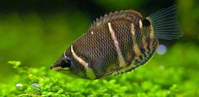 Hình ảnh cá sặc sô cô la