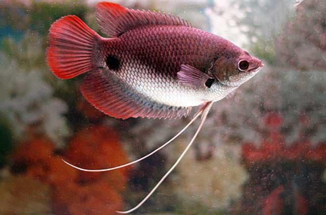 Hình ảnh cá hồng kỳ phát tài, cá tai tượng đuôi đỏ