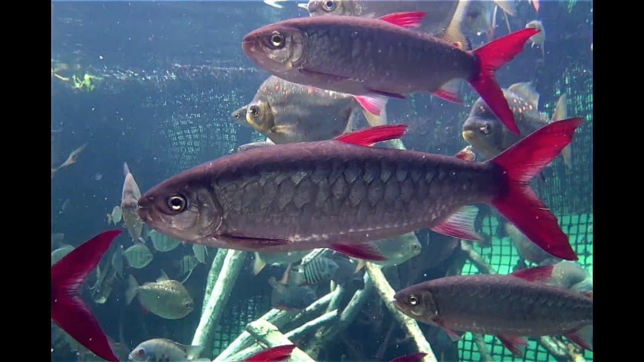 Hình ảnh cá thanh tử quang, cá bình khách