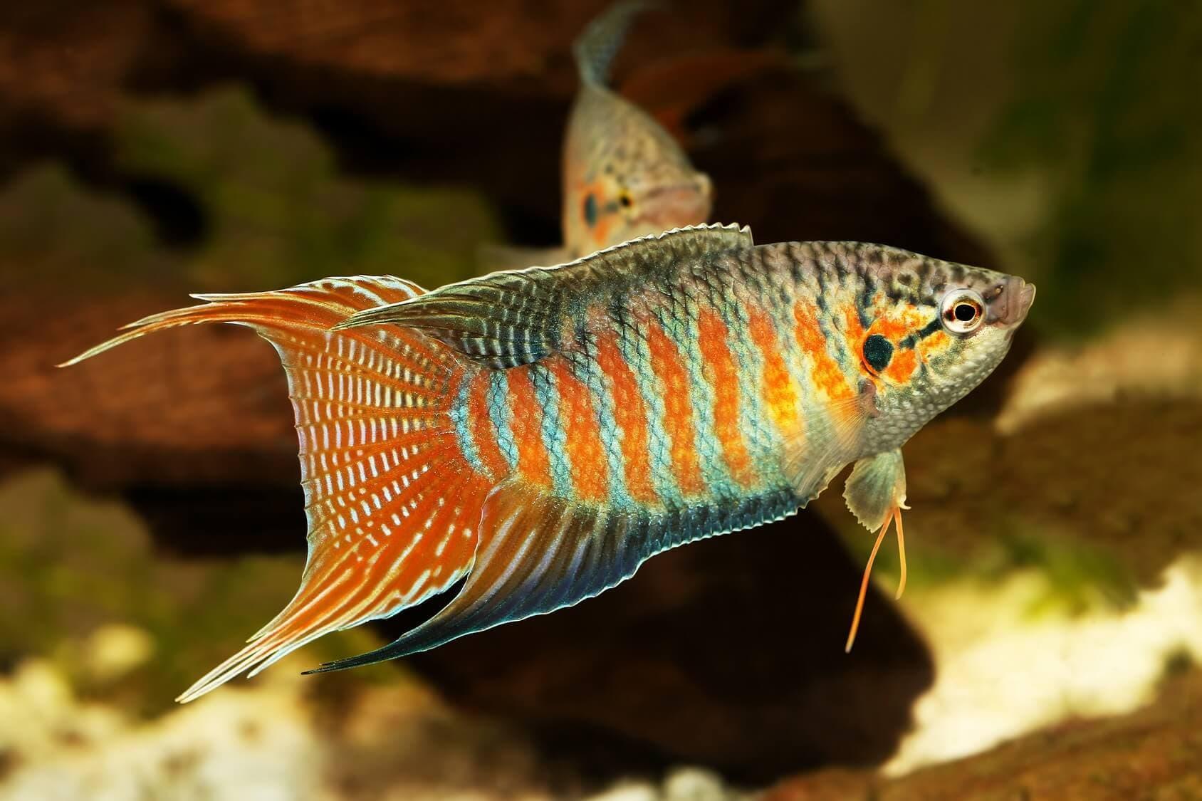 Hình ảnh cá thiên đường, cá đuôi cờ