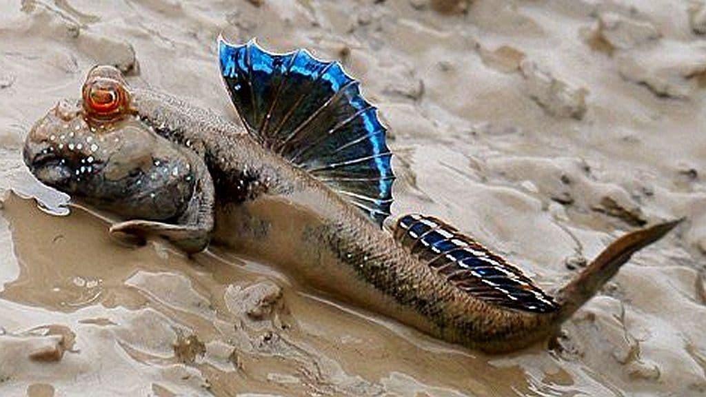 Hình ảnh cá thòi lòi