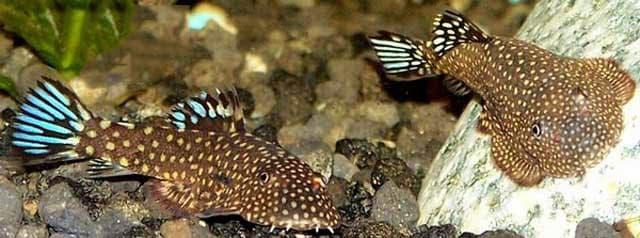 Hình ảnh cá tỳ bà bướm galaxy