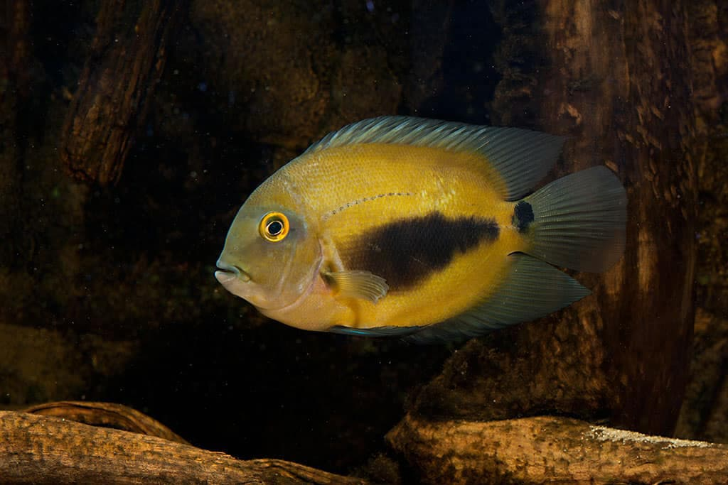Hình ảnh cá Uaru