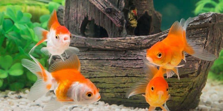 Hình ảnh cá vàng