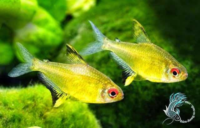 Hình ảnh Cá vàng kỳ