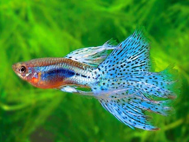 Hình ảnh về cá bảy màu, cá guppy