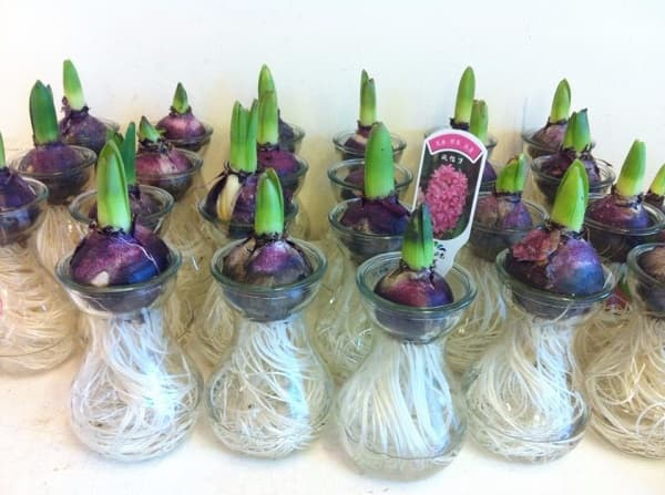 Cách trồng hoa dạ lan hương từ củ cho hương thơm thanh thoát trong nhà