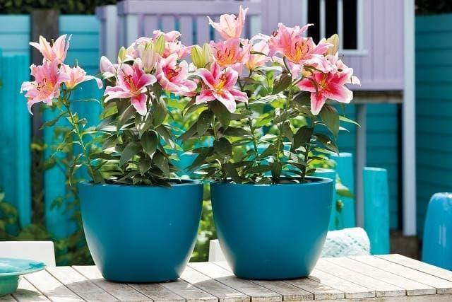 Bí kíp trồng hoa ly lùn trong chậu đón tết tươi sắc hoa