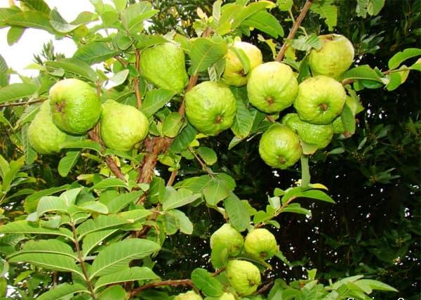Bí quyết trồng ổi lê Đài Loan trong chậu đơn giản cho trái thơm ngon