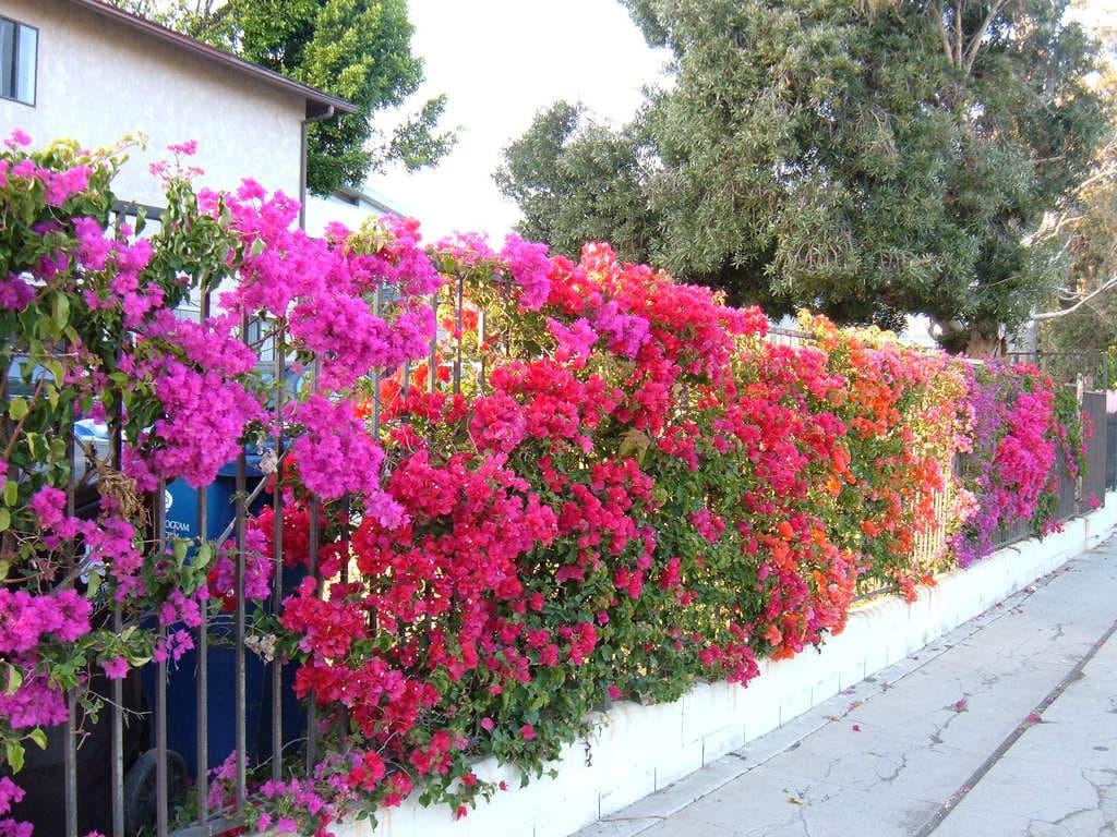 Cách trồng và chăm sóc cây hoa giấy cho ra hoa quanh năm