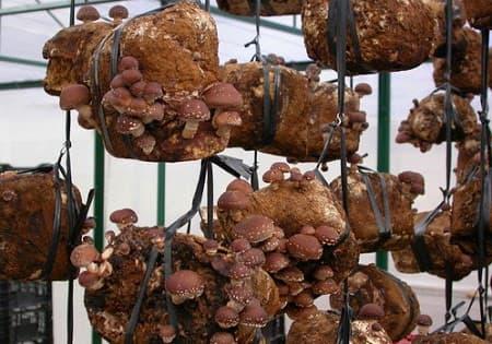 Kĩ thuật trồng và chăm sóc nấm hương