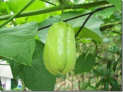 Kỹ thuật gieo trồng và chăm sóc Su Su