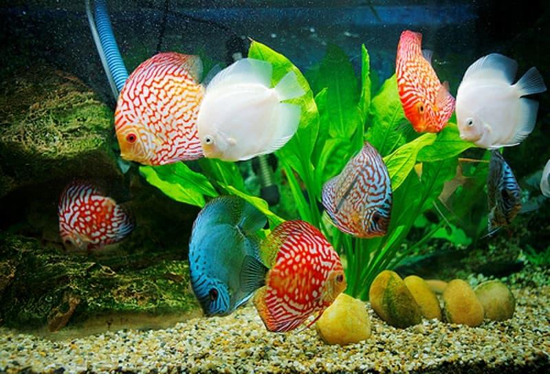 Cách nuôi và chăm sóc cá cảnh tại nhà: Cá khỏe mạnh cho phong thủy tốt