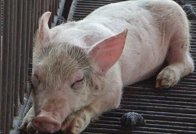 Cách phòng và trị bệnh cúm ở Lợn