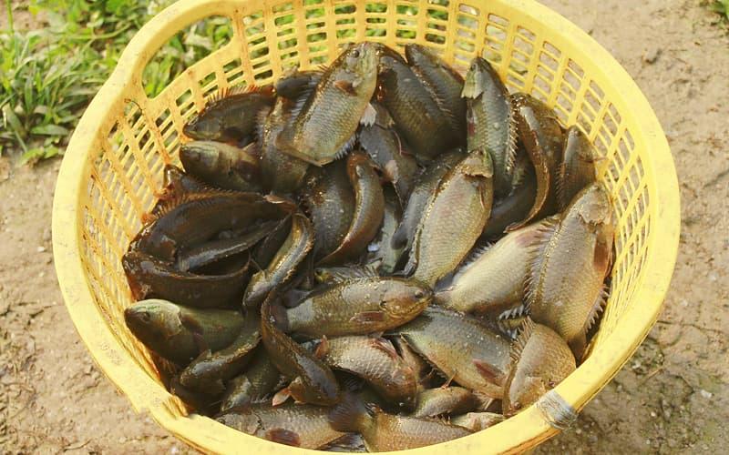 Mô hình nuôi cá rô đồng đạt hiệu quả kinh tế cao