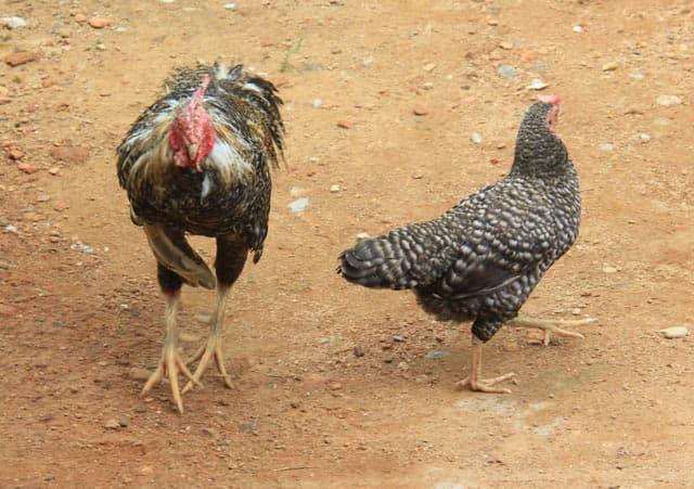 Nuôi gà re - nông dân làm giàu từ giống gà quý hiếm có nguy cơ tuyệt chủng
