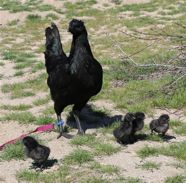 Kỳ lạ giống gà đen từ trong ra ngoài, đến trứng cũng đen nốt