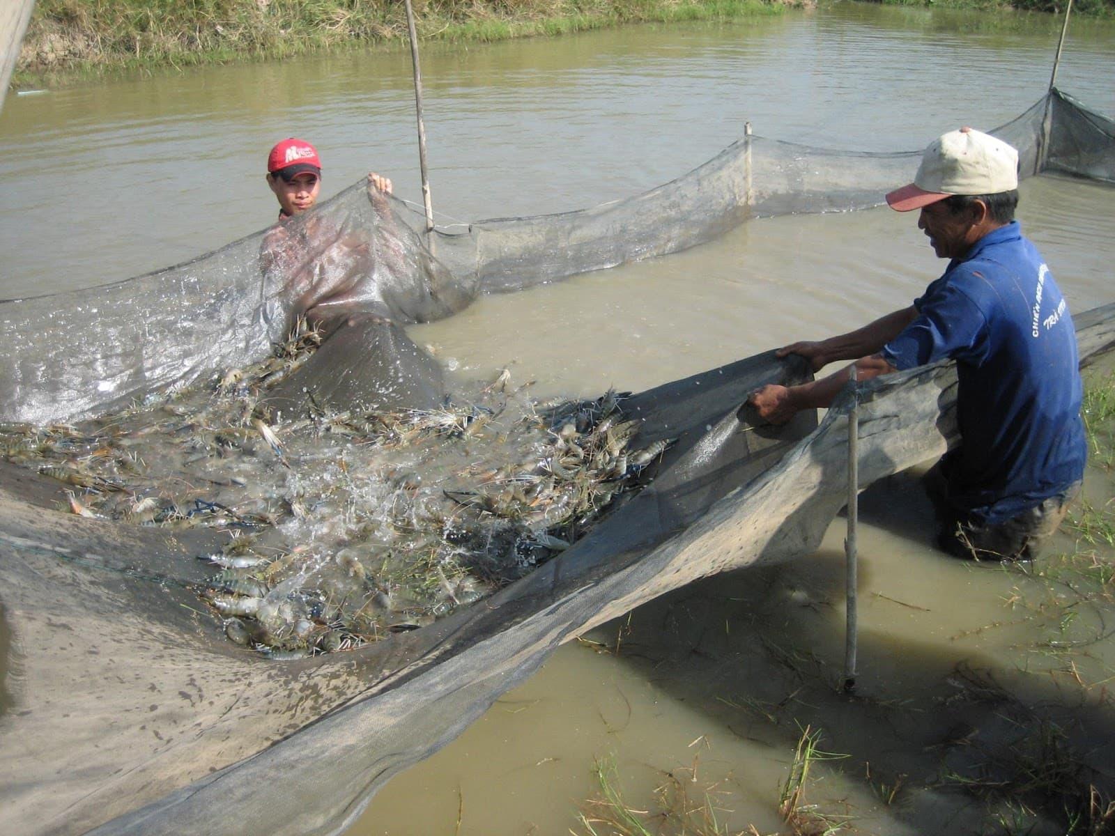 Kỹ thuật nuôi ghép cá Rô phi với tôm Chân trắng Nam Mỹ