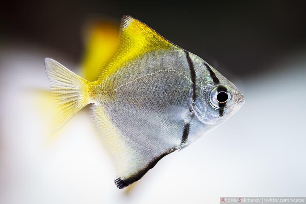 Thông tin và kỹ thuật nuôi cá cánh dơi bạc