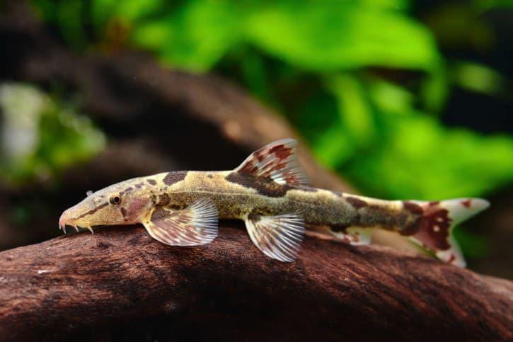 Thông tin và kỹ thuật nuôi Cá chuột cánh bướm  cá chuồn chuồn