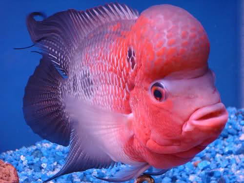 Hướng dẫn cách nuôi cá La Hán lên đầu đơn giản