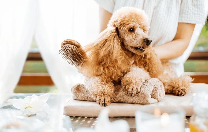 Chăm sóc sức khỏe cho chó Poodle