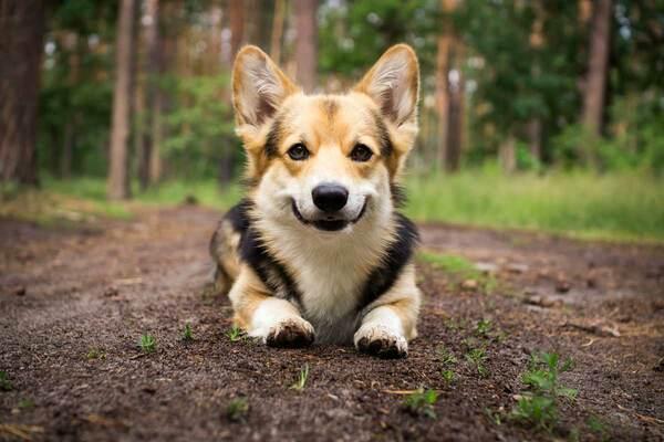 Chó Husky lai Corgi