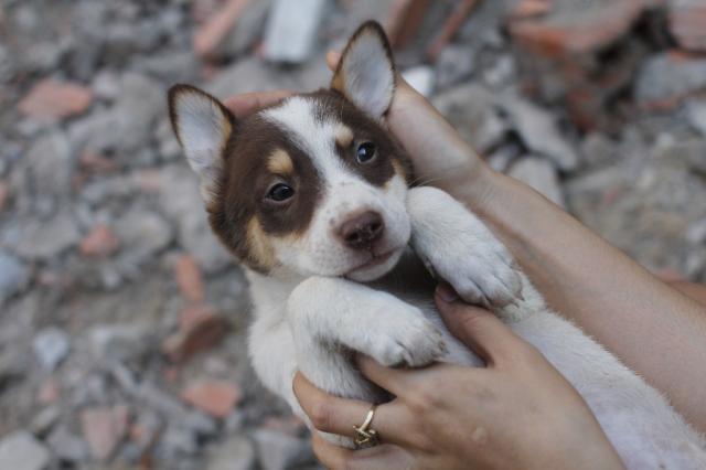 Chó Husky lai Phú Quốc