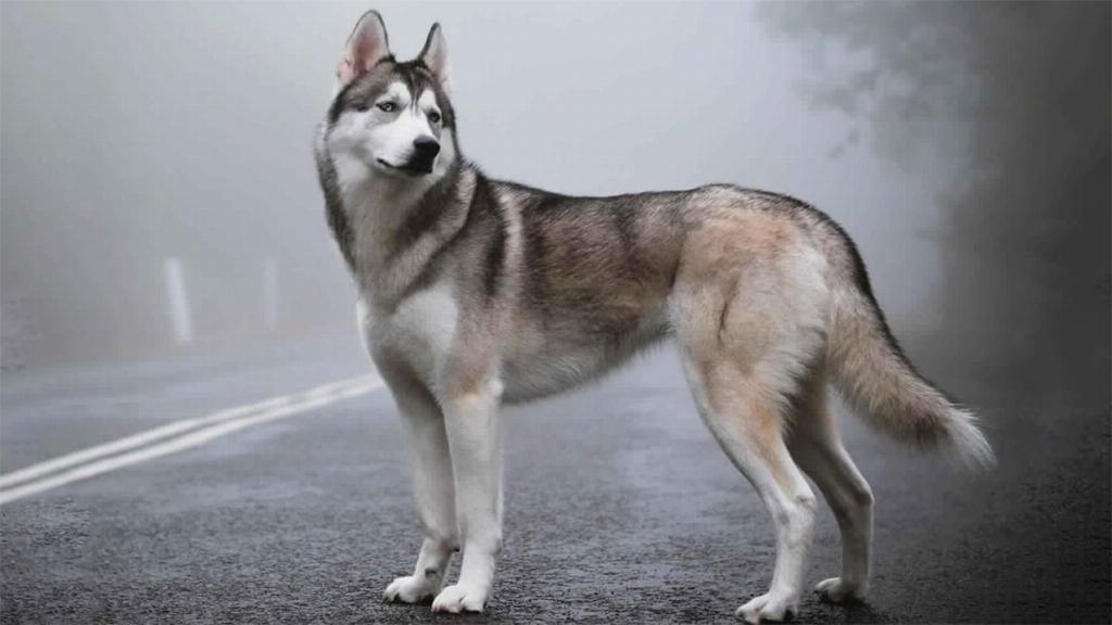 Lai lịch của dòng chó Husky lai Alaska