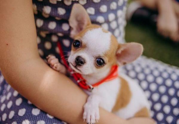Chó chihuahua mini