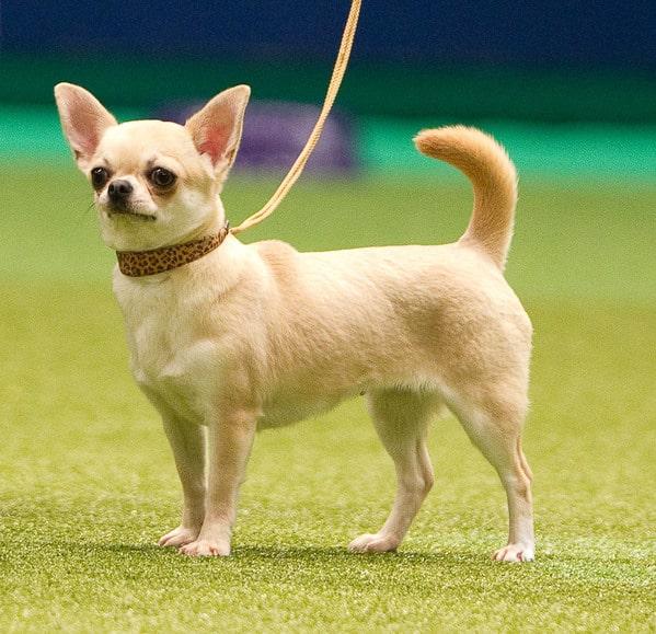 Đặc điểm nổi bật chó Chihuahua