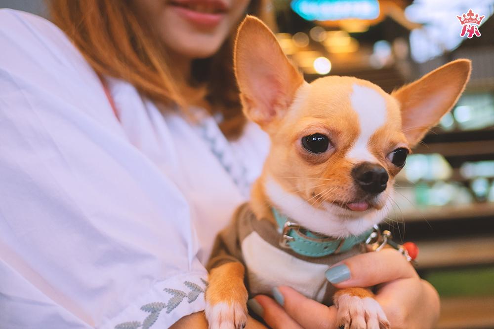Viêm dạ dày là căn bệnh thường gặp ở chó Chihuahua