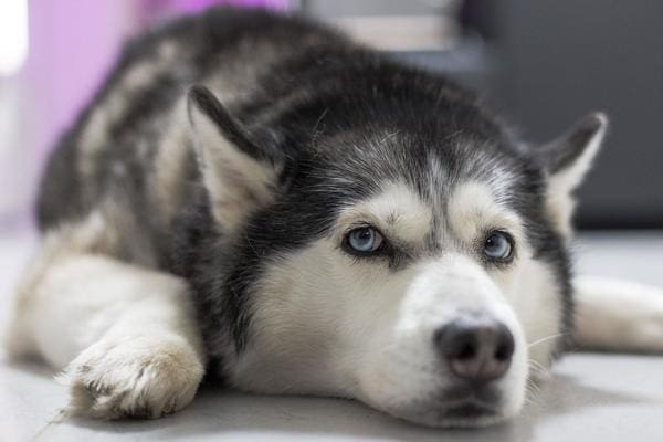 Rụng lông là một bệnh thường gặp ở chó Husky