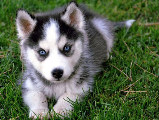 cách nuôi chó Husky Bật mí cách nuôi chó Husky phát triển khỏe mạnh