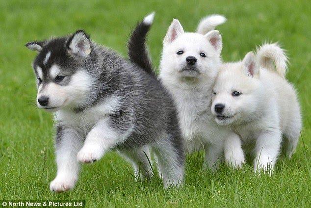 Kiểm soát hành vi của chó Husky