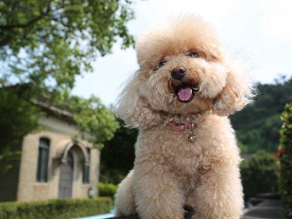 Chú Poodle xinh đẹp