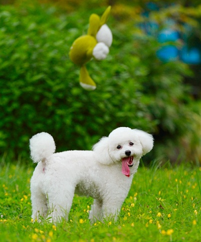 Tiny Poodle trắng