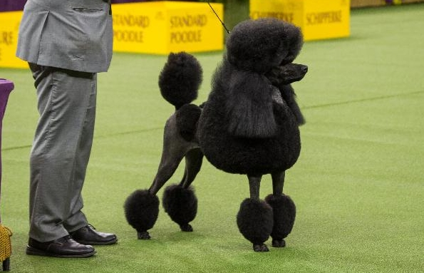 Poodle luôn luôn được yêu thương