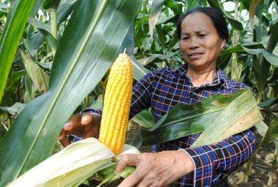 Áp dụng giống mới - Bắp ngọt Golden Cob nông dân làm giàu nhanh