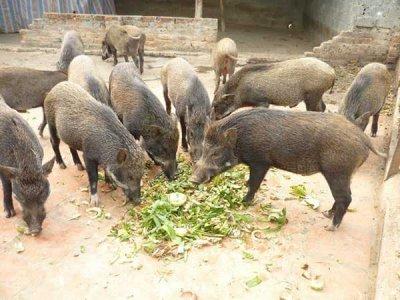 10 tối kị trong quá trình nuôi lợn rừng