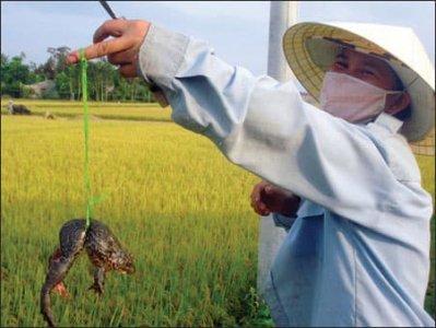Cách nuôi ếch hiệu quả ở ruộng lúa