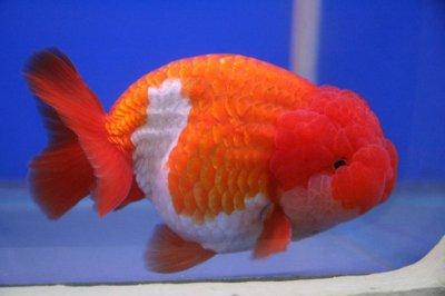 Cá vàng phượng hoàng (Egg Goldfish)